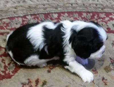 Cavalier King Charles Spaniel PUPPY FOR SALE ADN-62974 - AKC Dash
