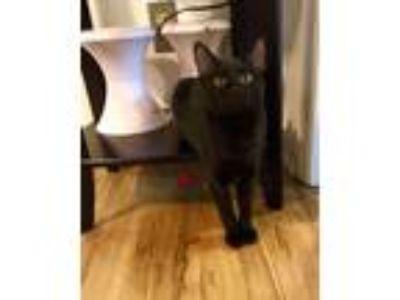 Adopt ORION a All Black Domestic Shorthair (short coat) cat in Burlington