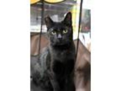 Adopt MissBillie a Domestic Short Hair