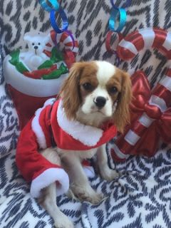 Cavalier King Charles Spaniel PUPPY FOR SALE ADN-107855 - Cavalier King Charles Spaniel