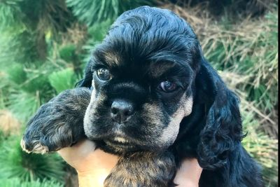 Home raised Cocker Spaniel Puppies from health tested GR/Ch parents.