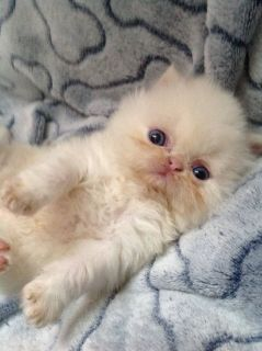 Adorable CFA Persian kittens ready for loving homes