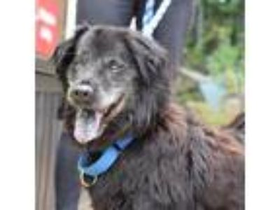 Adopt Nico a Black Chow Chow / Mixed dog in Washington, DC (25861143)