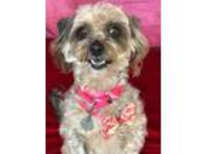 Adopt Baylee a Brown/Chocolate Terrier (Unknown Type, Small) / Mixed dog in