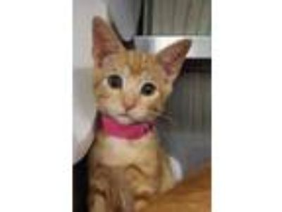 Adopt Dandelion a Orange or Red Domestic Shorthair / Domestic Shorthair / Mixed