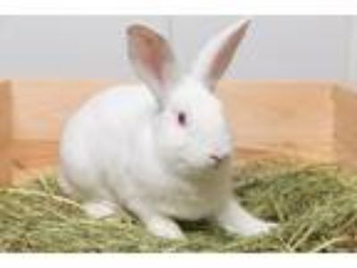 Adopt Rabbit Downey Jr a Other/Unknown / Mixed (short coat) rabbit in