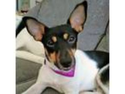Adopt Mickey a Miniature Pinscher, Rat Terrier