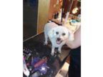 Adopt Bianca a White Poodle (Miniature) / Mixed dog in Fort Lauderdale