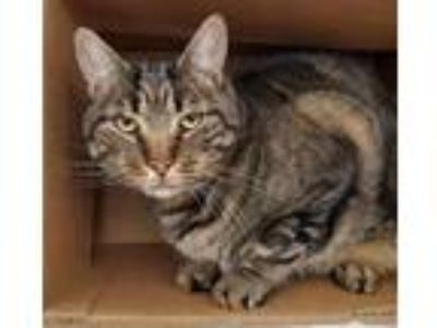 Adopt JJ a Brown Tabby Domestic Shorthair / Mixed cat in St. Paul, MN (26103222)