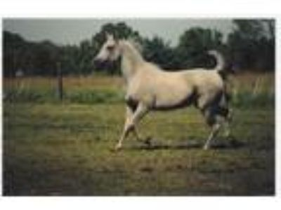 Polish Bred Mare Available for In House Lease For Breeding