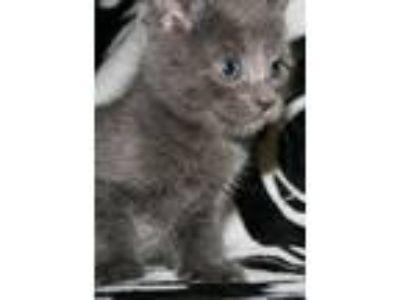 Adopt Pebble - I am A Russian Blue a Domestic Short Hair