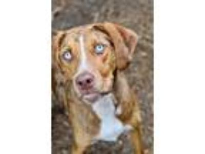 Adopt Lucy a Catahoula Leopard Dog / Mixed dog in Canton, GA (25547143)