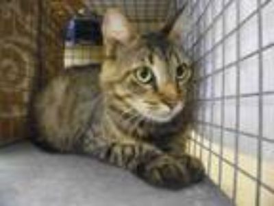 Adopt LYLA a Domestic Medium Hair