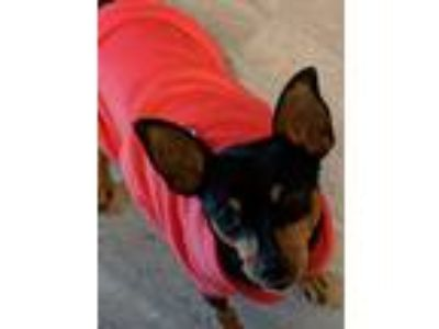 Adopt Shay a Black - with Tan, Yellow or Fawn Miniature Pinscher / Mixed dog in