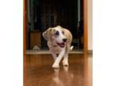 Adopt Crickett a Tricolor (Tan/Brown & Black & White) Beagle / Mixed dog in