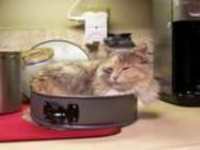 Adopt Clio a Calico or Dilute Calico Domestic Mediumhair cat in Bloomington