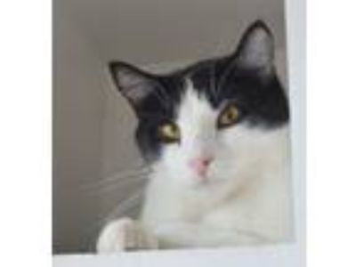 Adopt Armando a Domestic Short Hair