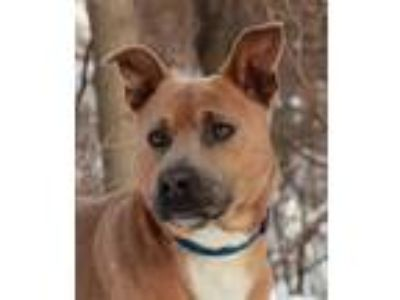 Adopt Husky a Jindo, Pit Bull Terrier
