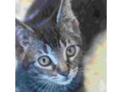 Adopt Blynken a Domestic Shorthair / Mixed (short coat) cat in Troutdale