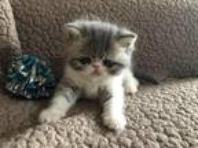 ESH Blue & White Kitten