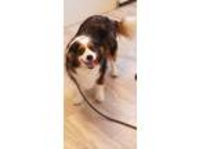 Adopt Kasey a Cavalier King Charles Spaniel