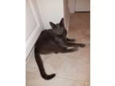 Adopt Gracie a Gray or Blue Russian Blue (short coat) cat in Atlanta
