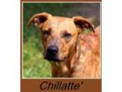Adopt Chillatte' a Red/Golden/Orange/Chestnut Plott Hound / Mixed dog in