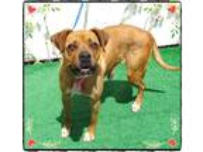 Adopt PAISLEY a Brown/Chocolate - with White Boxer / Mixed dog in Marietta