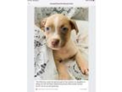 Adopt Puppy a White - with Tan, Yellow or Fawn Weimaraner / American Pit Bull