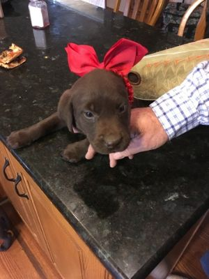 Labrador Retriever PUPPY FOR SALE ADN-75498 - Registered  Farm raised chocolate labs