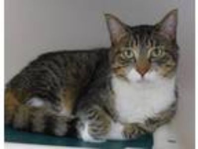 Adopt Tinker a Brown or Chocolate (Mostly) Domestic Shorthair / Mixed (short