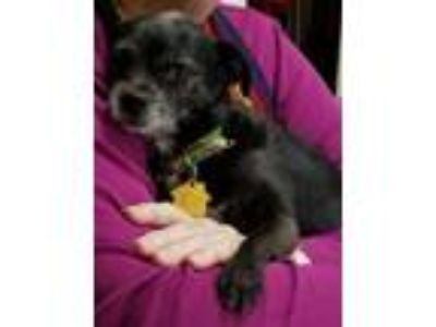 Adopt Shylah a Black - with White Terrier (Unknown Type, Medium) / Mixed dog in