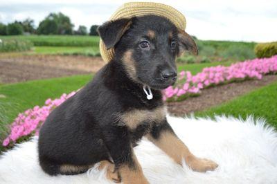 German Shepherd Dog PUPPY FOR SALE ADN-88616 - COCO