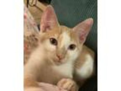 Adopt Malachi a Domestic Medium Hair, Tabby