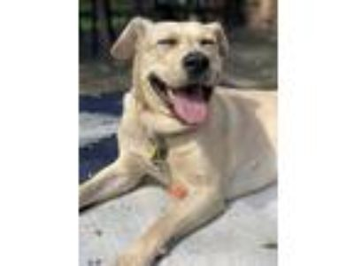 Adopt Sadie a Tan/Yellow/Fawn Labrador Retriever / American Pit Bull Terrier dog