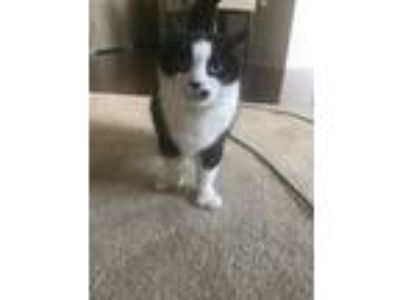 Adopt Neera a Black & White or Tuxedo Domestic Mediumhair / Mixed cat in