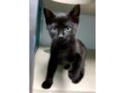 Adopt O'Keefe a All Black Domestic Shorthair / Domestic Shorthair / Mixed cat in