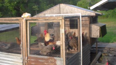 chickens full grown hens , and roosters , Easter eggers , rocks road island reds, and more