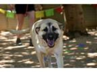 Adopt Sandy a Tan/Yellow/Fawn - with Black Black Mouth Cur / German Wirehaired