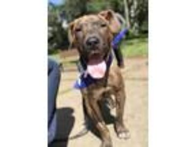 Adopt GAGE a Brindle Catahoula Leopard Dog / Mixed dog in Chico, CA (24932022)