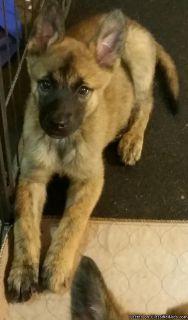 nthfghghvd Dutch Shepherd Puppies Ready for sale