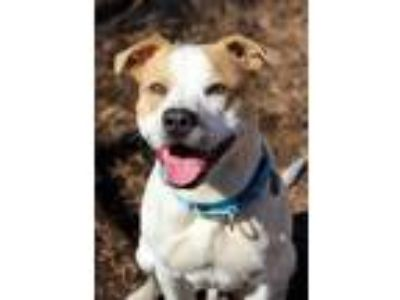 Adopt Ciroc a American Pit Bull Terrier / Mixed dog in Charlottesville