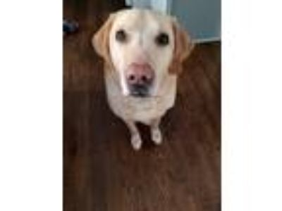 Adopt Monty a Tan/Yellow/Fawn Labrador Retriever dog in Spencerport