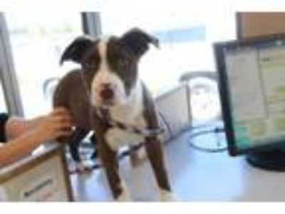 Adopt Apollo a Brown/Chocolate Border Collie / Mixed dog in Albany