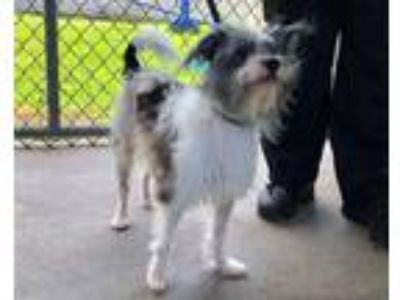 Adopt KOWBOY a White - with Gray or Silver Chinese Crested / Mixed dog in St.