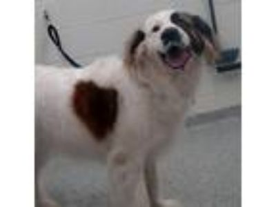 Adopt Maggs a White - with Tan, Yellow or Fawn St. Bernard / Great Pyrenees dog