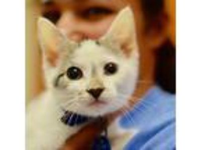 Adopt Bull, 1303 a White Domestic Shorthair / Domestic Shorthair / Mixed cat in