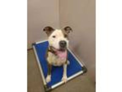 Adopt Kenny a White American Staffordshire Terrier / Mixed dog in Louisburg