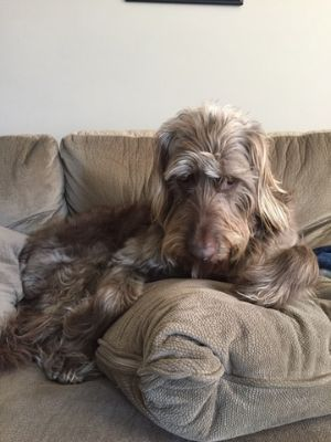 Labradoodle DOG FOR ADOPTION ADN-66008 - Chocolate Labradoodle