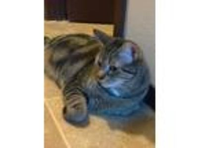 Adopt Sweetie (F), Gatwah (M) a Tortoiseshell American Shorthair / Mixed cat in